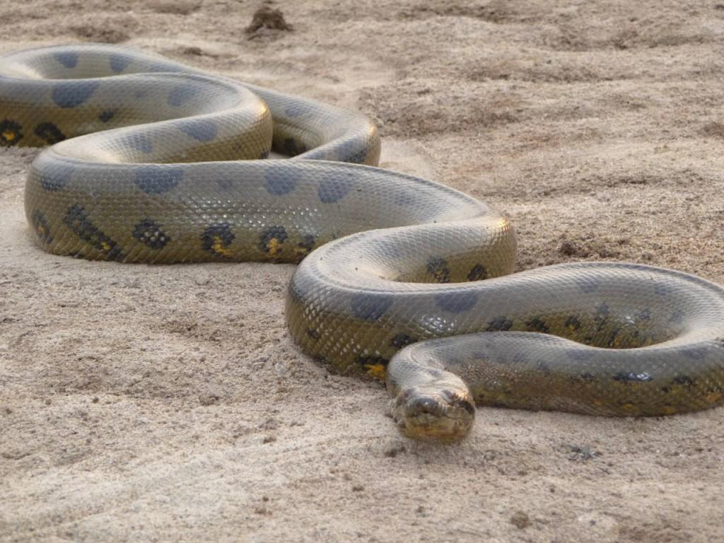 """Minae anuncia """"cacería"""" para dar con anaconda en Rio Tempisque"""