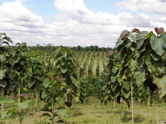 Hojancha líder en mejoramiento genético forestal
