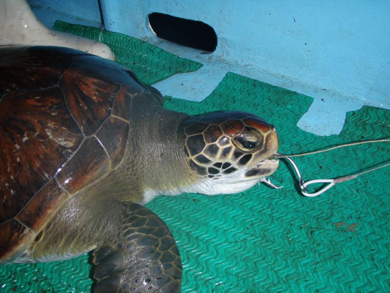 Técnica de pesca utilizada en la Costa de Guanacaste perjudicó a 722.000 tortugas en 11 años