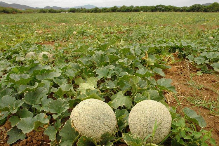 Ministerio de salud reclutara personal para el sector agrícola en Liberia y en Santa Cruz