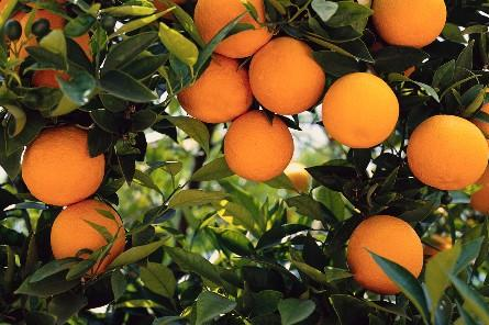 Naranjas cosechadas en Guanacaste ayudan a Costa Rica a entrar al (Orange Market Global) mercado global de Naranjas