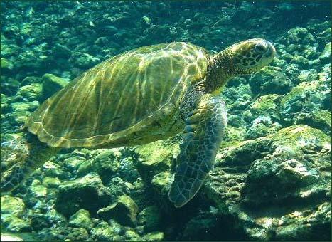 Isla San José en el Área de Conservación Guanacaste, es el principal punto centroamericano para la anidación de la Tortuga Verde