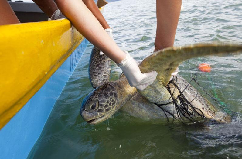 Según funcionarios de Widecast Tortugas muertas en Isla Murciélago en Guanacaste, presentaban golpes contundentes en su cabeza y caparazón
